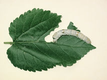 Silkworm and mulberry leaf Stock Images