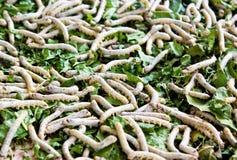 Silkworm på mullbärsträdleave royaltyfri fotografi