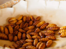 Silkworm pupa Stock Photos