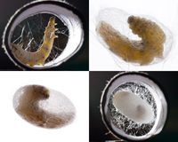 Silkworm pupation collage Stock Photos