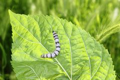 Silkworm ringed silk worm on mulberry green leaf Stock Photo