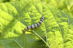 Silkworm ringed silk worm on mulberry green leaf Royalty Free Stock Images