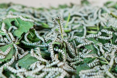 Silkworm Royalty Free Stock Photos