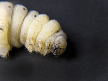 Silkworm at Start of becoming a chrysalis Royalty Free Stock Image
