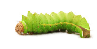 Silkworm. On a white background Royalty Free Stock Photography