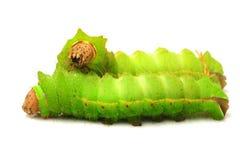 Silkworm stock photography