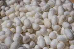 Silkworm Stock Photos