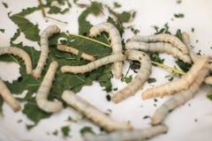 silkworms Immagine Stock