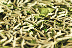 Silkworms Stock Photos