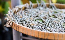 silkworms Royaltyfri Bild