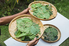 Silkworms eating mulberry leaf Stock Photos