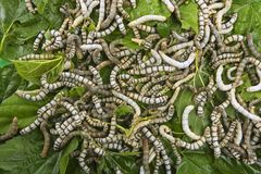 Silkworms eating mulberry leaf closeup Royalty Free Stock Images