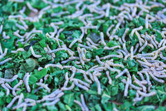 Silkworms Royalty Free Stock Photos