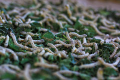 Silkworms Stock Image