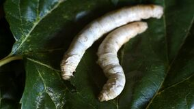 Silkworms are fattened by eating mulberry leaves ready to begin their metamorphosis 2.