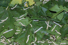 Silkworms feasting on their mulberry leaves. Stock Image