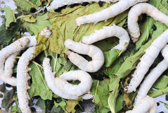 silkworms on mubbery leaves Royalty Free Stock Photo