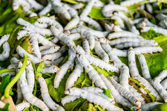 Silkworms on mulberry leaf. Silkworms close up on a mulberry leaf Royalty Free Stock Image