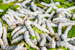Silkworms on mulberry leaf. Silkworms close up on a mulberry leaf Royalty Free Stock Photo