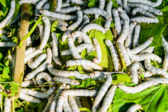 Silkworms on mulberry leaf. Silkworms close up on a mulberry leaf Stock Photo