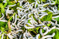 Silkworms on mulberry leaf. Silkworms close up on a mulberry leaf Stock Images