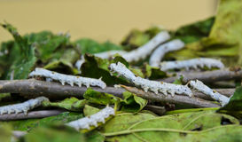 Silkworms on mulberry leaves Royalty Free Stock Photography