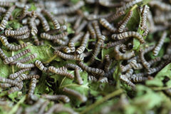 Silkworms with mulberry leaves Royalty Free Stock Photo