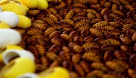 Silkworms output of silk and life royalty free stock photos