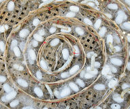 Silkworms on white cocoons Stock Photos