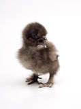 Silky Bantam Chick Chicken Royalty Free Stock Image