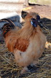 Silky Bantam Rooster stock photography