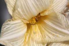 Silky Białej lelui kwiat Fotografia Royalty Free