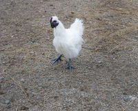 Silky Chicken Royalty Free Stock Images