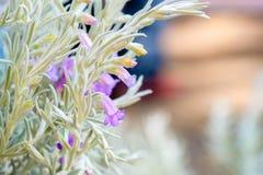 Silky eremophila nivea Stock Image