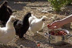 Silky fowl Royalty Free Stock Photo