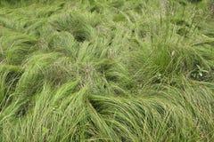 Silky Grass Stock Image
