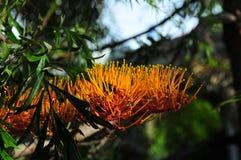 Silky Oak Flower Blossom grevillea robusta Royalty Free Stock Image