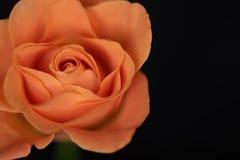 Silky orange rose, silky petals. Silky orange rose on dark background, silky petals royalty free stock images