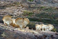 Silky parchement fungus. Silky parchement Stereum striatum. Synonym: Stereum sericeum Royalty Free Stock Photo