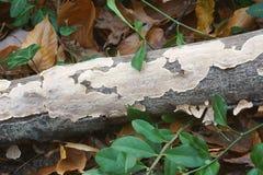 Silky parchement fungus. Silky parchement Stereum striatum. Synonym: Stereum sericeum Stock Photos