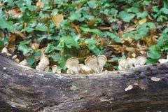 Silky parchement fungus. Silky parchement Stereum striatum. Synonym: Stereum sericeum Stock Photo
