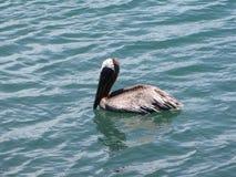 Silky pelikan pływa z ścisłym upierzeniem Obrazy Stock