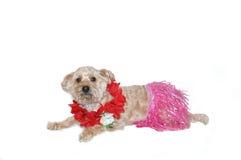 Silky poo goes Hawaiian style Stock Photography