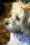 Silky Poo Profile. Silky poo dog breed sits at attention.  Picture is of profile.  He has on a bandana with hearts on it Royalty Free Stock Image