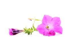 Silky ranek chwała Zdjęcie Royalty Free