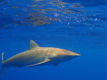 Silky shark in clear blue water, Jardin de la Reina, Cuba. Royalty Free Stock Photo