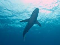 Silky shark in clear blue water, Jardin de la Reina, Cuba. Royalty Free Stock Photo