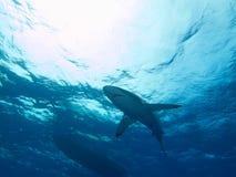 Silky shark in clear blue water, Jardin de la Reina, Cuba. Royalty Free Stock Photography