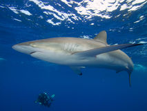 Silky shark and diver, Jardin de la Reina, Cuba. Royalty Free Stock Photo