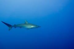Silky Shark Malpelo. A single silky shark around Malpelo island colombia Royalty Free Stock Photography